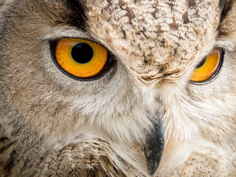 Ciérrese encima del retrato de un bubón del bubón del búho de águila con los ojos amarillos foto de archivo
