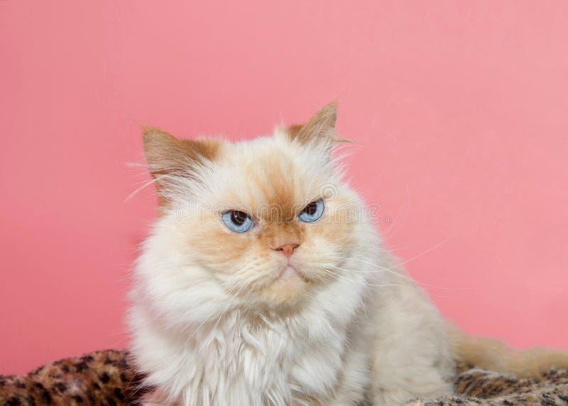 Ciérrese encima del retrato de un persa color nata de la Peke-cara foto de archivo