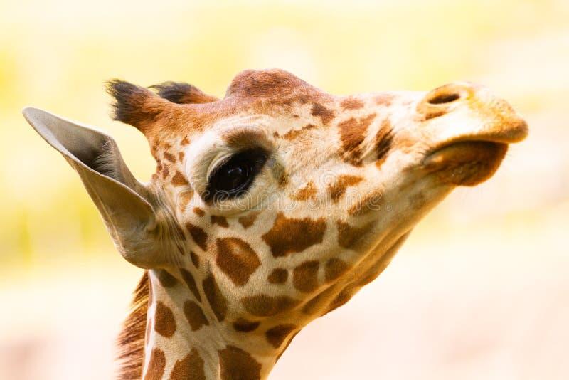 Ciérrese encima del retrato de una jirafa imágenes de archivo libres de regalías