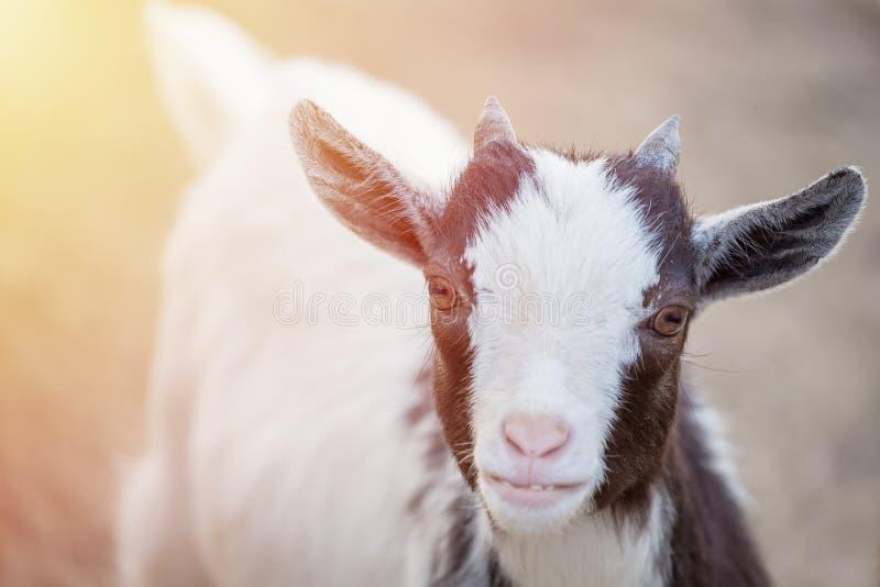 Ciérrese encima del retrato del animal goatling lindo del Camerún con la luz del sol que mira la cámara fotografía de archivo