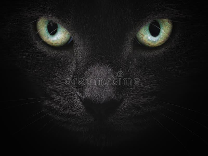 Ciérrese encima del retrato del gato británico serio del shorhair foto de archivo