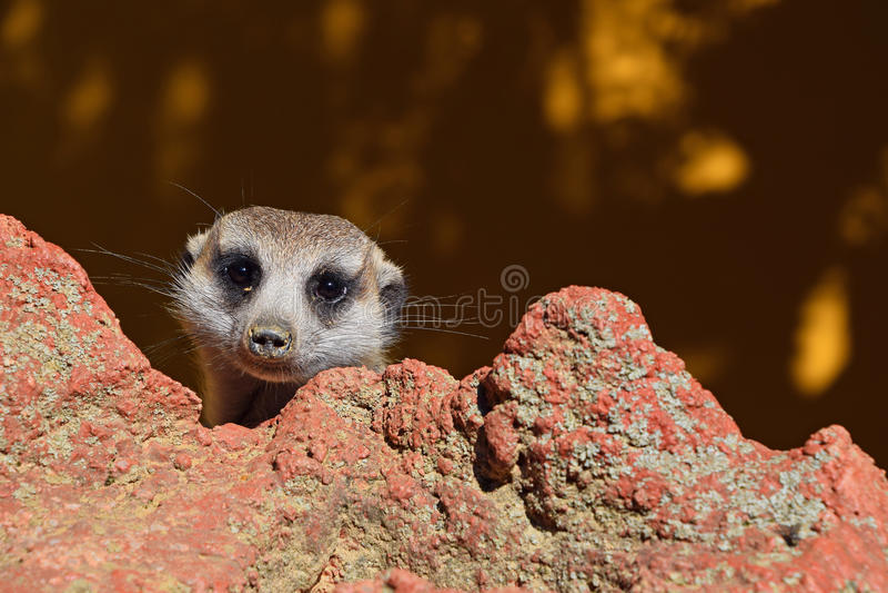 Ciérrese encima del retrato del meerkat que mira la cámara imágenes de archivo libres de regalías
