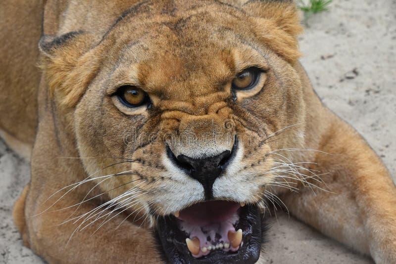 Ciérrese encima del retrato del rugido furioso enojado de la leona fotos de archivo libres de regalías