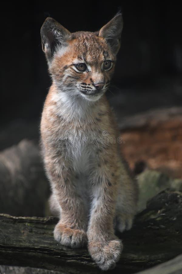 Ciérrese encima del retrato del gatito eurasiático del lince imagenes de archivo