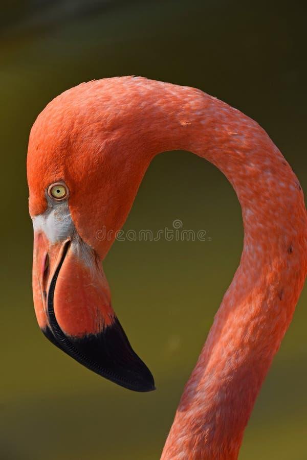 Ciérrese encima del retrato lateral del perfil del flamenco rosado imágenes de archivo libres de regalías