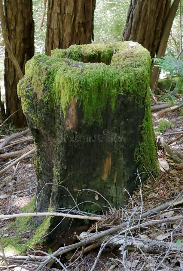 Ciérrese encima del tocón viejo demasiado grande para su edad con el musgo en coto de las secoyas de la cala de Purisima foto de archivo