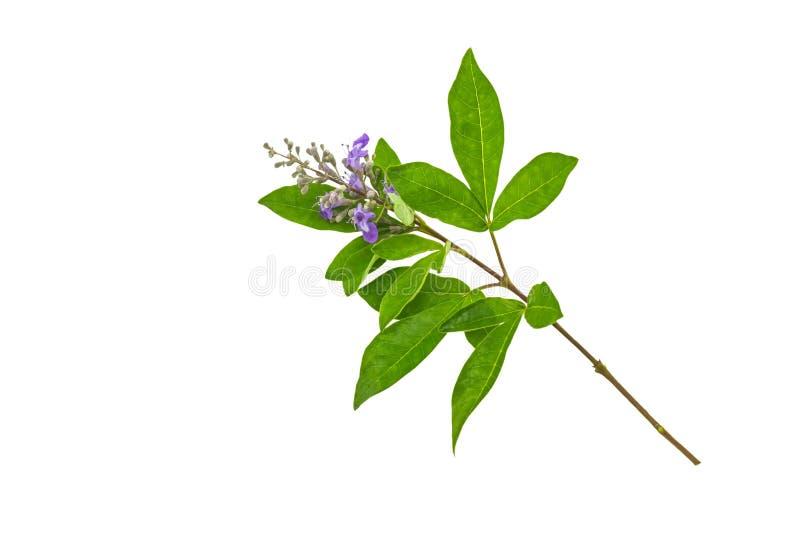 Ciérrese encima del trifolia violeta Linn de Vitex de la flor o de la alheña india en blanco foto de archivo