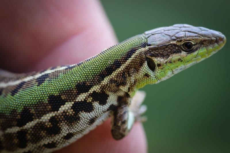 Ciérrese para arriba con el lagarto verde en un finger imagen de archivo libre de regalías