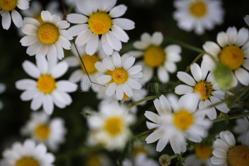 Ciérrese para arriba con las flores blancas y amarillas salvajes imagen de archivo libre de regalías