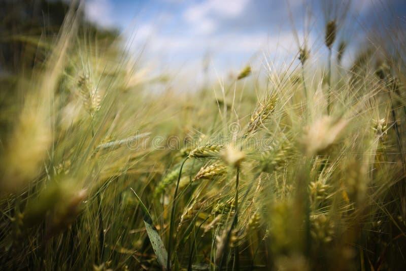 Ciérrese para arriba con los oídos del trigo imagen de archivo libre de regalías