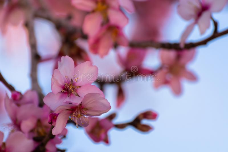 Ciérrese para arriba de árboles de almendra de florecimiento Flor hermoso de la flor de la almendra, en el fondo de la primavera  imagen de archivo
