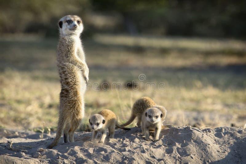 Ciérrese para arriba de algunos meerkats fotografía de archivo