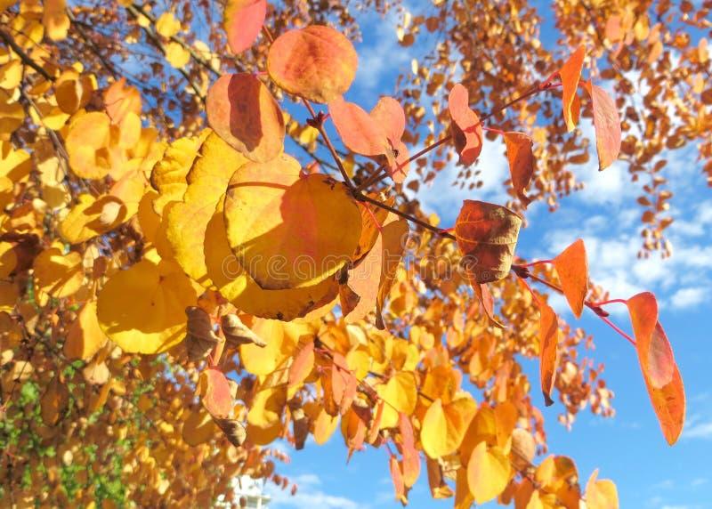 Ciérrese para arriba de Autumn Trees con las hojas anaranjadas y amarillas brillantes imagen de archivo libre de regalías