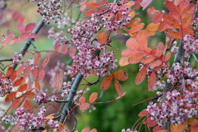 Ciérrese para arriba de bayas del otoño con las hojas anaranjadas delicadas fotos de archivo libres de regalías