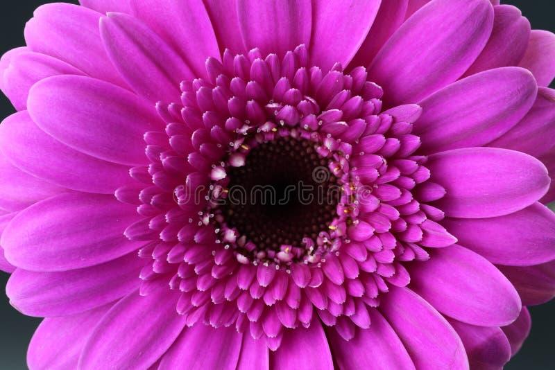 Ciérrese para arriba de blossum rosado hermoso del gerbera fotos de archivo libres de regalías