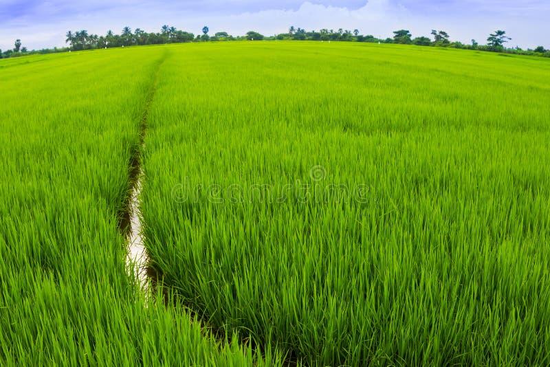 Ciérrese para arriba de campo del arroz imagen de archivo libre de regalías