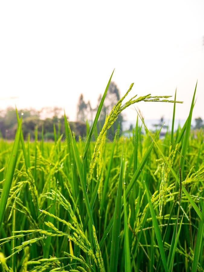 Ciérrese para arriba de campo del arroz del verde amarillo imágenes de archivo libres de regalías