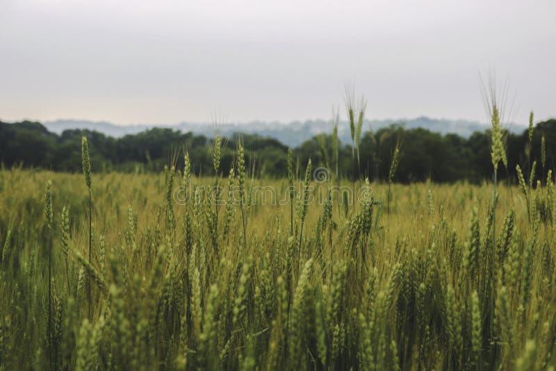 Ciérrese para arriba de campo de trigo imagen de archivo libre de regalías