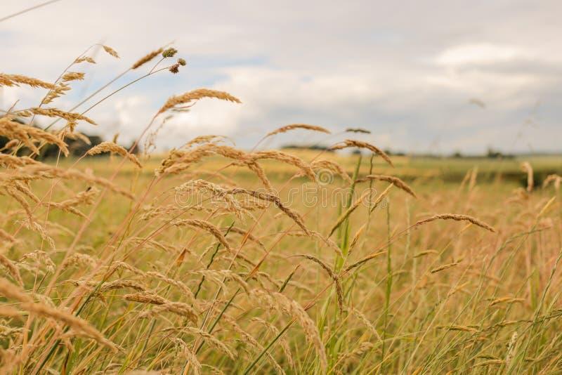 Ciérrese para arriba de campos de trigo debajo del sol foto de archivo