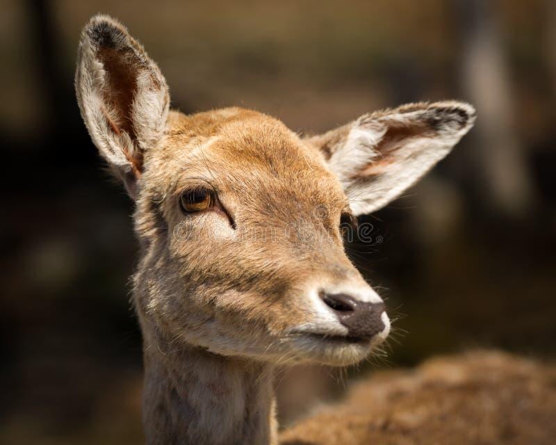 Ciérrese para arriba de cara linda, joven de los ciervos del bebé fotografía de archivo libre de regalías