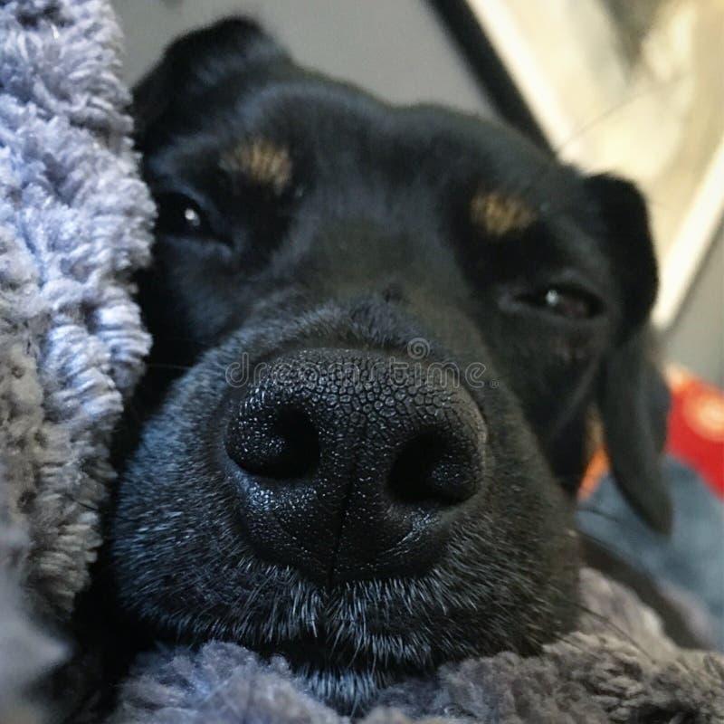 Ciérrese para arriba de cara soñolienta negra del ` s del perro fotos de archivo
