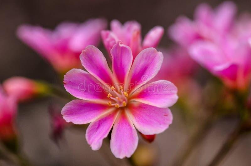 Ciérrese para arriba de clemátide rosada imagen de archivo