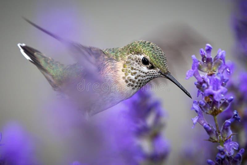 Ciérrese para arriba de colibrí rufo femenino imagenes de archivo