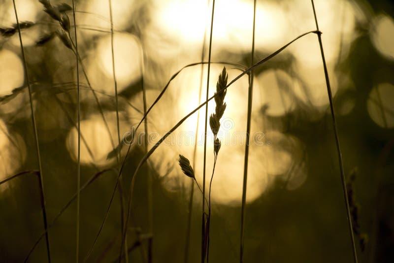 Ciérrese para arriba de cosechas en un campo en la puesta del sol imagen de archivo libre de regalías