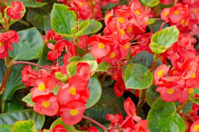 Ciérrese para arriba de cucullata de la begonia o de begonia de cera rojo foto de archivo libre de regalías