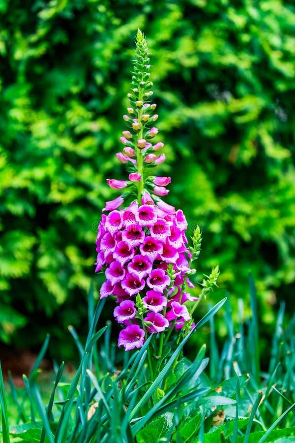 Ciérrese para arriba de dedalera de la flor del purpurea de la digital, de dedalera común, de dedalera púrpura o del guante de la foto de archivo