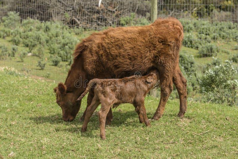 Ciérrese para arriba de Dexter Cow rojo, considerado una raza rara, pastando en hierba imagen de archivo