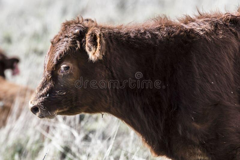 Ciérrese para arriba de Dexter Cow rojo, considerado una raza rara, situación que mira a la izquierda foto de archivo