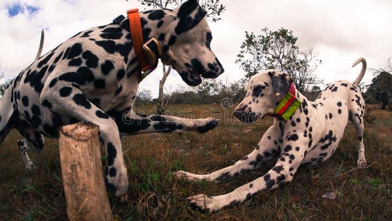 Ciérrese para arriba de dos dalmatians jovenes que juegan en un parque afuera imágenes de archivo libres de regalías