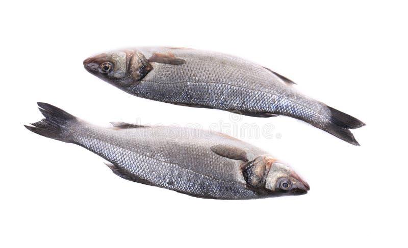 Ciérrese para arriba de dos pescados frescos de la lubina. imagen de archivo libre de regalías