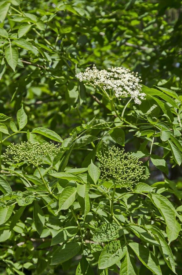 Ciérrese para arriba de elderflower del arbusto o de nigra del sambucus con los brotes y la floración en primavera imágenes de archivo libres de regalías