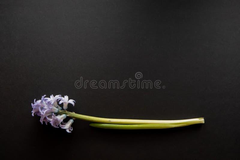 Ciérrese para arriba de flores azules de los jacintos, mentira horizontal - plano de la endecha de la visión superior con el espa fotografía de archivo libre de regalías