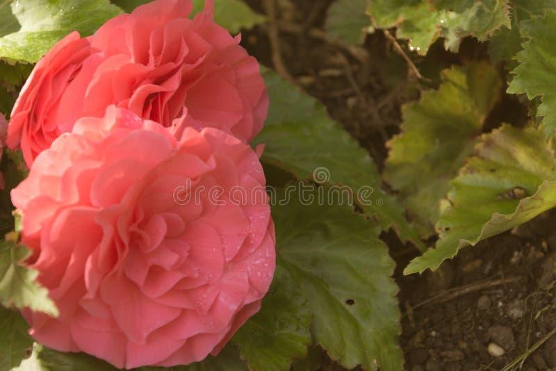Ciérrese para arriba de flores coloreadas melocotón imagen de archivo libre de regalías