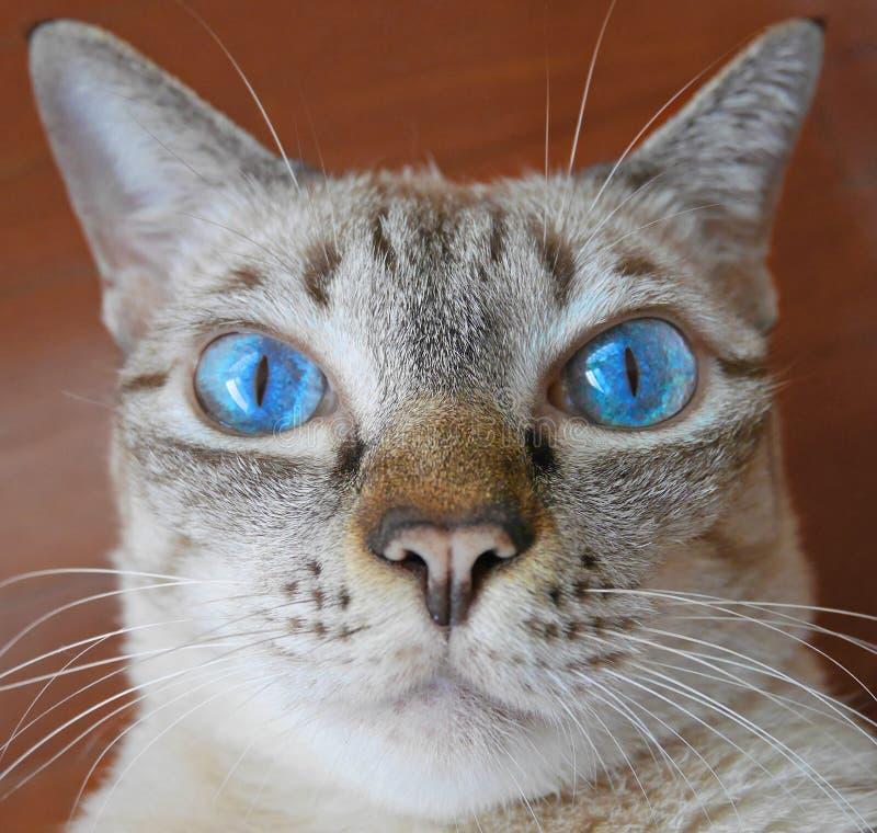 Ciérrese para arriba de gato del ojo azul fotografía de archivo libre de regalías