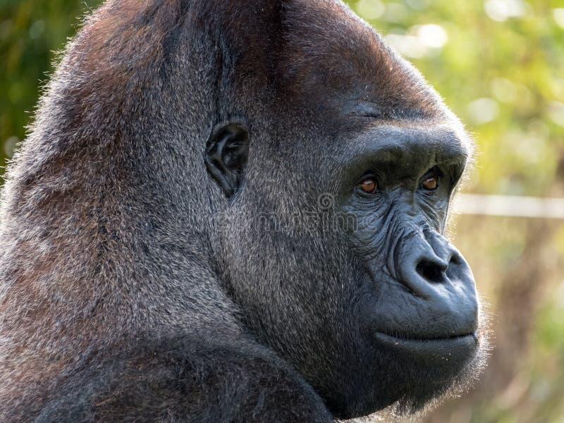 Ciérrese para arriba de gorila masculino adulto del silverback de la tierra baja occidental Fotografiado en el puerto Lympne Safa imagenes de archivo