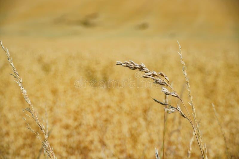 Ciérrese para arriba de granja del trigo en la granja antigua educativa de Butser fotografía de archivo libre de regalías