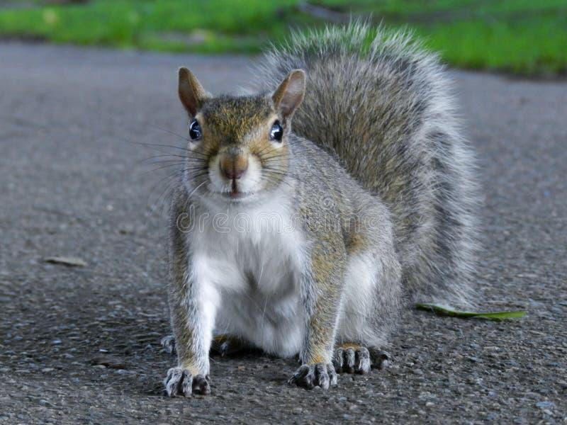 Ciérrese para arriba de Gray Squirrel lindo que se sienta en el parque en el blacktop fotos de archivo libres de regalías