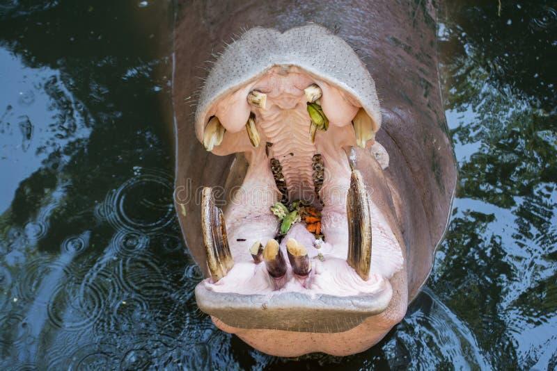 Ciérrese para arriba de hipopótamo o de hipopótamo fotos de archivo