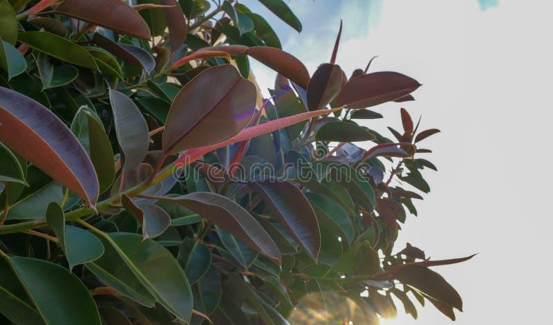 Ciérrese para arriba de hojas grandes de la planta de los ficus en el cielo azul fotos de archivo