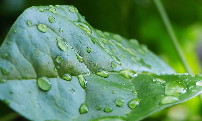 Ciérrese para arriba de hojas verdes con descensos del agua imagen de archivo