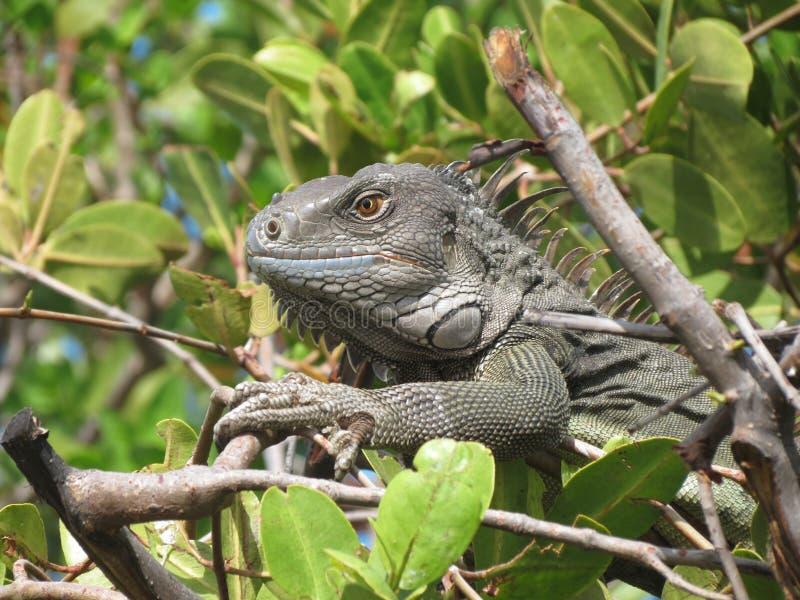 Ciérrese para arriba de iguana verde en árbol foto de archivo
