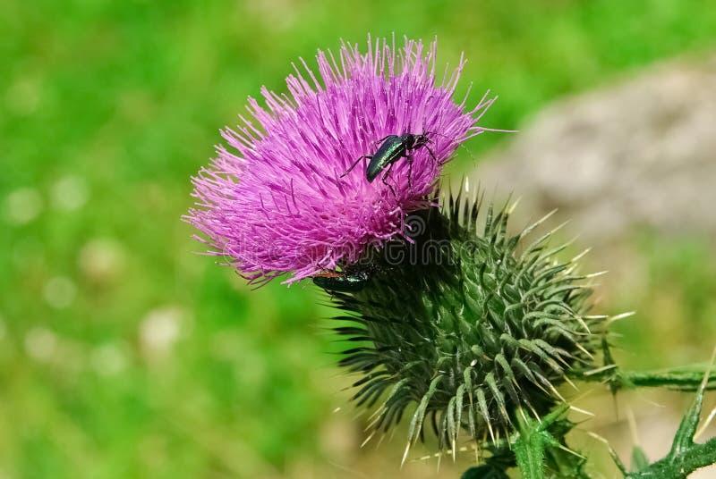 Ciérrese para arriba de insecto negro en la flor violeta hermosa fotos de archivo