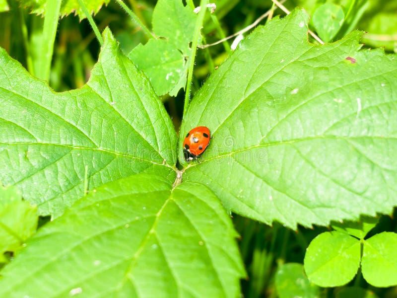 Ciérrese para arriba de insecto punteado del pájaro de la señora del rojo 7 en las hojas fotografía de archivo