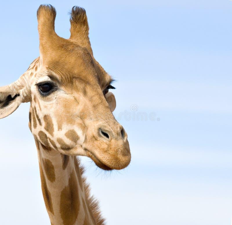 Ciérrese para arriba de jirafa imagenes de archivo