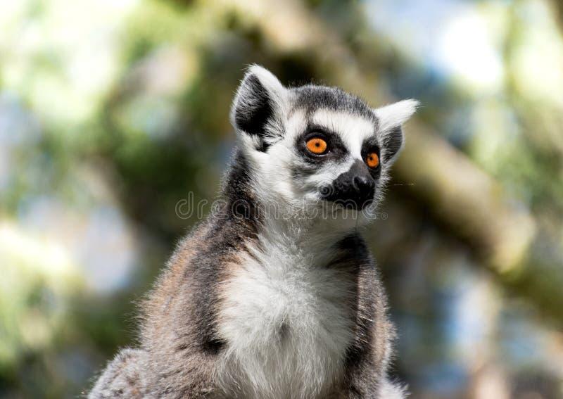 Ciérrese para arriba de lémur Anillo-atado imagen de archivo