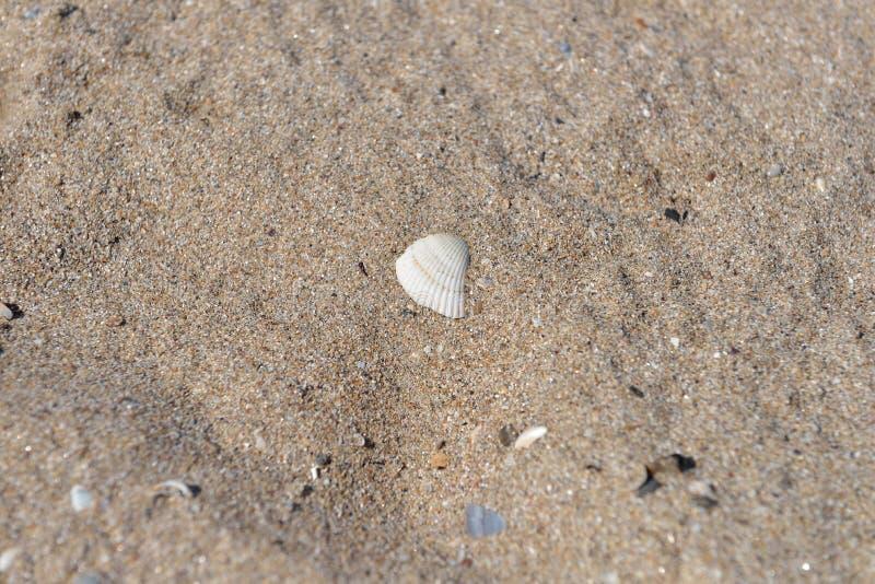 Ciérrese para arriba de la arena en una playa con una cáscara blanca grande y varias fotos de archivo libres de regalías